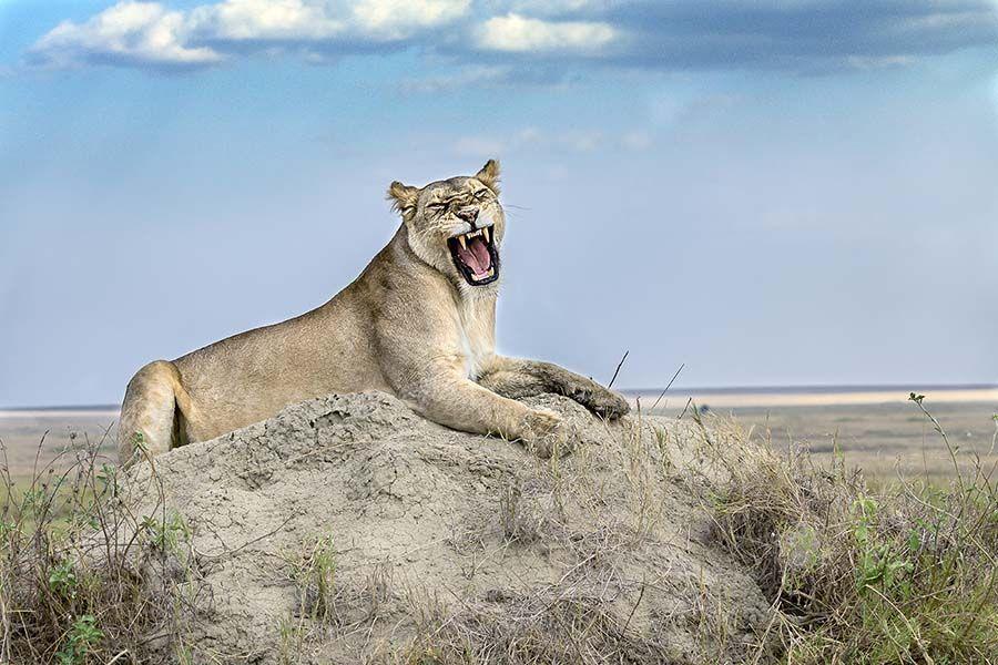 BBABenny-Rebel-Fotoreise-Tansania-Loewe