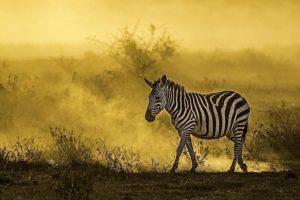 AAA-Benny-Rebel-Fotoreise-Kenia-Zebra