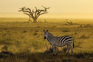 AAB-Benny-Rebel-Fotosafari-Kenia-Zebra