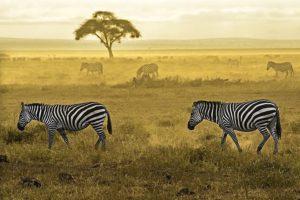AAC-Benny-Rebel-Fotoreise-Kenia-Zebra