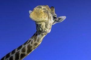 AAH-Benny-Rebel-Fotoreise-Suedafrika-Giraffe