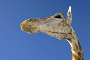 AAI-Benny-Rebel-Fotoreise-Suedafrika-Giraffe