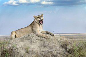AAK-Benny-Rebel-Fotosafari-Tansania-Loewe