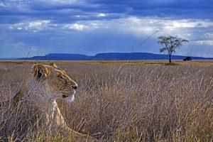 AAL-Benny-Rebel-Fotoreise-Tansania-Loewe