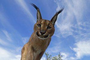 AAM-Benny-Rebel-Fotoreise-Suedafrika-KarakalLuchs