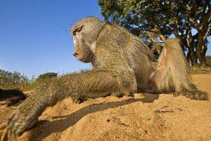 AAP-Benny-Rebel-Fotosafari-Suedafrika-Pavian