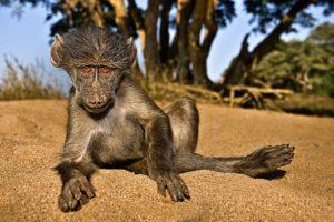 AAR-Benny-Rebel-Fotoreise-Suedafrika-Pavian