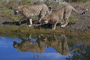 AAS-Benny-Rebel-Fotoreise-Suedafrika-Gepard