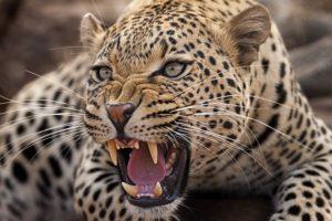 ABJ-Benny-Rebel-Fotoreise-Suedafrika-Leopard