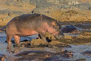 ABM-Benny-Rebel-Fotoreise-Suedafrika--Flusspferd