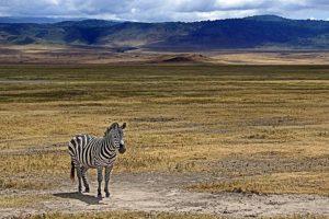ACE-Benny-Rebel-Fotosafari-Tansania-Zebra