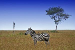 ACG-Benny-Rebel-Fotosafari-Tansania-Zebra