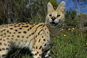 ACH-Benny-Rebel-Fotoreise-Serval-Suedafrika