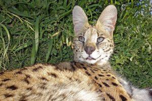 ACI-Benny-Rebel-Fotoreise-Serval-Suedafrika