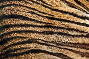 ACQFotoworkshop-Tiger