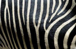 ACR-Benny-Rebel-Fotoworkshop-Zebra-Suedafrika