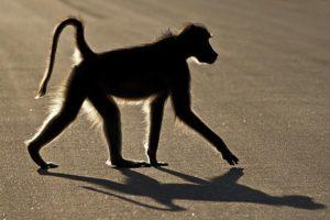 ADK-Benny-Rebel-Fotoreise-Suedafrika-Pavian