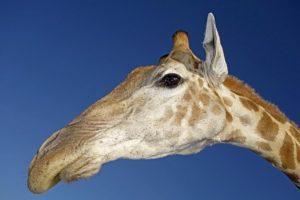 ADZ-Benny-Rebel-Fotoreise-Suedafrika-Giraffe