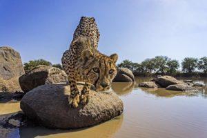 AEG-Benny-Rebel-Fotoreise-Suedafrika-Gepard