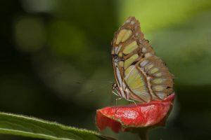 AEO-Benny-Rebel-Fotoworkshop-Schmetterling-Costa-Rica
