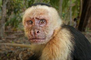 AEU-Benny-Rebel-Fotoreise-Costa-Rica-Weiss-schulter-Kapuzineraffe