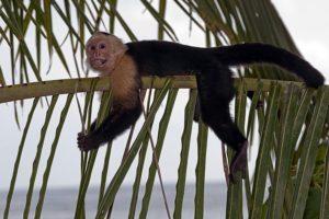 AEX-Benny-Rebel-Fotoreise-Costa-Rica-Weiss-schulter-Kapuzineraffe