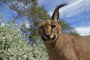 AEXW-Benny-Rebel-Fotoreise-Suedafrika-KarakalLuchs