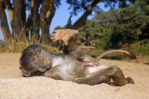AFG-Benny-Rebel-Fotoreise-Afrika-Pavian