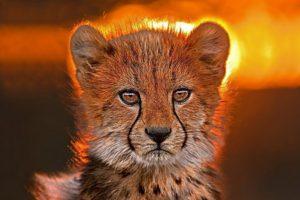 AGD-Benny-Rebel-Fotoreise-Suedafrika-Gepard