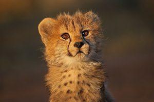 AGH-Benny-Rebel-Fotoreise-Suedafrika-Gepard
