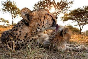AGI-Benny-Rebel-Fotoreise-Suedafrika-Gepard
