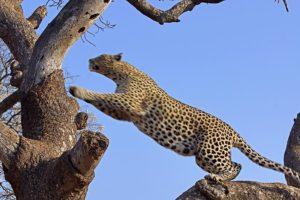 AGM-Benny-Rebel-Fotoreise-Suedafrika-Leopard