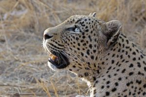 AGN-Benny-Rebel-Fotoreise-Suedafrika-Leopard