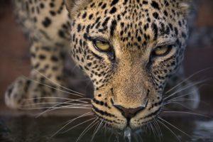 AGO-Benny-Rebel-Fotoreise-Suedafrika-Leopard