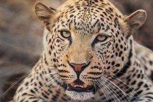 AGP-Benny-Rebel-Fotoreise-Suedafrika-Leopard