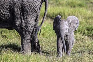 AGU-Benny-Rebel-Fotoreise-Kenia-Elefant
