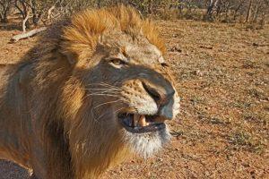 AHA-Benny-Rebel-Fotoreise-Kenia-Loewe