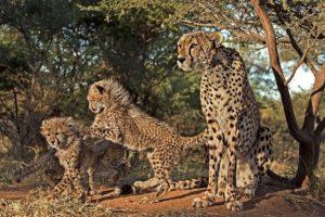 AHT-Benny-Rebel-Fotoreise-Suedafrika-Gepard