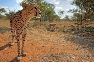 AHx-Benny-Rebel-Fotoreise-Suedafrika-Gepard