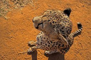 AHz-Benny-Rebel-Fotoreise-Suedafrika-Gepard