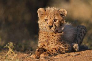 AIa-Benny-Rebel-Fotoreise-Suedafrika-Gepard