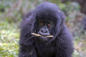 AIc-Benny-Rebel-Fotosafari-Berg-GorillaRuanda