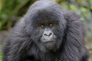 AId-Benny-Rebel-Fotosafari-Berg-GorillaRuanda