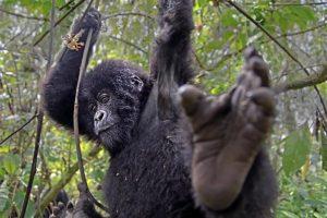 AIf-Benny-Rebel-Fotosafari-Berg-GorillaRuanda