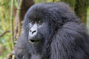 AIh-Benny-Rebel-Fotosafari-Berg-GorillaRuanda