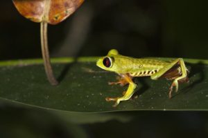 AIi-Benny-Rebel-Fotoreise-Frosch-Costa-Rica