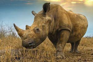 AIs-Benny-Rebel-Fotoreise-Swaziland-Breitmaul-Nashorn