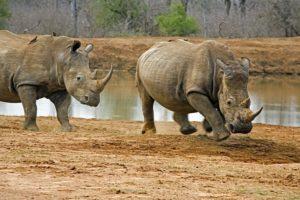 AIt-Benny-Rebel-Fotoreise-Swaziland-Breitmaul-Nashorn