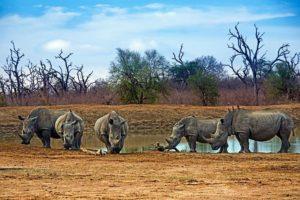 AIu-Benny-Rebel-Fotoreise-Swaziland-Breitmaul-Nashorn
