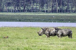AJa-Benny-Rebel-Fotoreise-Kenia-Nashorn-Breitmaul